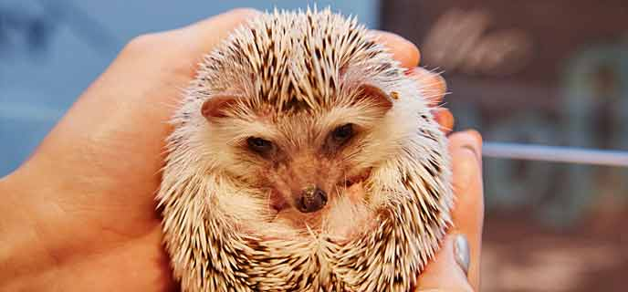 Photo of Hedgehog Cafe Harry